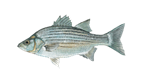 Bass Fish - Vest Fishing Guides Service