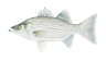 Hybrid Striped Bass - Vest Fishing Guide Service